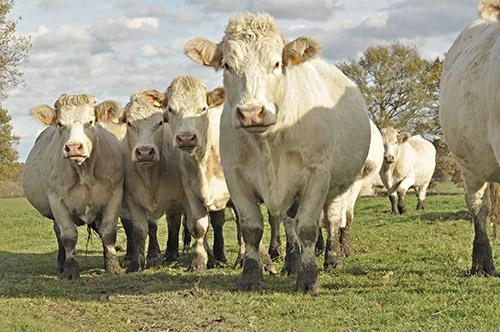 race viande bovine